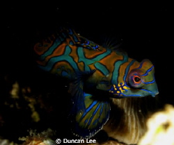 mandrian fish in Lembeh by Duncan Lee 
